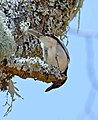 Black-backed Puffback (Dryoscopus cubla) male (32397321996).jpg