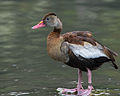 Black-bellied Whistling Ducks.jpg