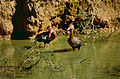 Black-bellied Whistling Ducks (Dendrocygna autumnalis) (10531774606).jpg