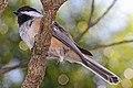 Black-capped Chickadee - Poecile atricapillus, Royal Botanical Gardens, Hamilton, Ontario.jpg