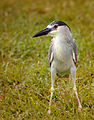 Black-crowned Night Heron - Flickr - Andrea Westmoreland (1).jpg