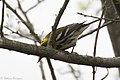 Black-throated Green Warbler ( ?? first winter male ) Mission TX 2018-03-01 08-19-45 (40623492851).jpg