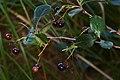 Black Chokeberry (Aronia melanocarpa) - Killarney, Ontario.jpg