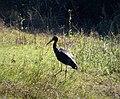Black Stork Ciconia nigra (25998187678).jpg