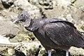 Black Vulture, Crystal River FL, March 28, 2012 (6878898788).jpg