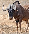 Black Wildebeest (Connochaetes gnou) (32211500640).jpg