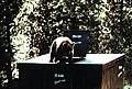 Black bear (20275623021).jpg