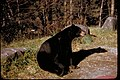 Black bear sitting upright at Great Smoky Mountains National Park, Tennessee and North Carolina (d846aeb0-01e0-4bb5-801c-d6bb26d13f85).jpg