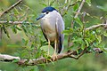 Black crowned night heron Gudavi bird sanctuary.jpg