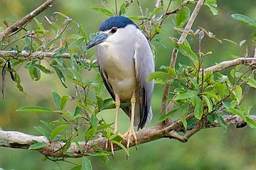 Black crowned night heron at Gudavi bird sanctuary