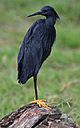 Black heron, Egretta ardesiaca, at Marievale Nature Reserve, Gauteng, South Africa (29946902700).jpg
