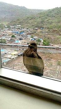Black kite Mumbai2.jpg