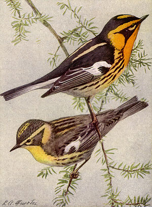 Blackburnian Warbler (Dendroica fusca). Male a...