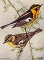 Blackburnian Warbler NGM-v31-p313-D.jpg