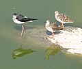 Blackwinged Stilt and Ruff (2271767845).jpg