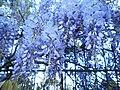 Blauregen (wisteria flowers) an Rankgerüst in Marburg, mehrere hängende Blütentrauben am Abend 2018-04-30.jpg