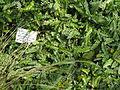 Blechnum penna-marina - Palmengarten Frankfurt - DSC01925.JPG