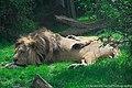 Blijdorp Lion (43297576952).jpg