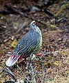 Blood Pheasant (27039664108).jpg