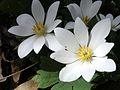 Bloodroot (Sanguinaria canadensis) - Flickr - Jay Sturner (7).jpg