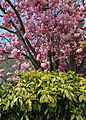 Blossoming tree and shrub detail at north of village green at Matching Green, Essex, England.jpg