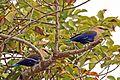 Blue-bellied rollers (Coracias cyanogaster).jpg