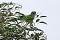 Blue-crowned Parakeet (Thectocercus acuticaudatus) (8077637757).jpg
