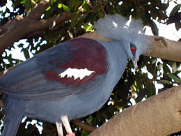 Blue Crowned Pigeon.jpg