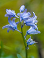 Bluebells (detail) (9029292072).jpg