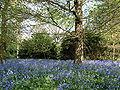 Bluebells Osterley Park.jpg