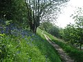 Bluebells above Jubilee Drive - geograph.org.uk - 839482.jpg
