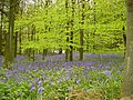 Bluebells in wood - geograph.org.uk - 1422933.jpg