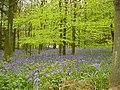 Bluebells in wood - geograph.org.uk - 1422933.jpg