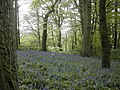 Bluebells near Whitsbury - geograph.org.uk - 409512.jpg