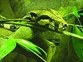 Boa constrictor, Singapore Zoo.jpg