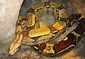 Boa constrictor constrictor - Flickr - Dick Culbert.jpg
