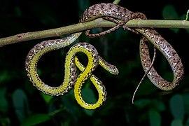Boiga jaspidea, Jasper cat snake.jpg