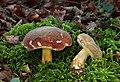 Boletus pruinatus.jpg