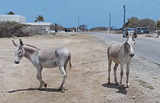 Bonaire's Critically-Endangered Nubian Wild Ass.jpg