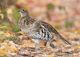 A brown, white and black speckled game bird standing on leaves