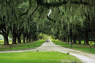 Quercus virginiana - The avenue of live oaks at Boone Hall in Mount Pleasant, South Carolina, planted in 1743.