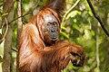 Bornean orangutan (Pongo pygmaeus), Tanjung Putting National Park 15.jpg
