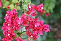 Bougainvillea California Gold 5zz.jpg