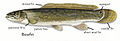 Bowfin fin and eyespot diagram.jpg