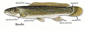 Bowfin - Image: Bowfin fin and eyespot diagram