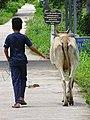 Boy Walking Cow - Koh Trong Island - Mekong River - Kratie - Cambodia (48393103507).jpg
