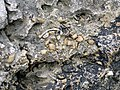 Brachiopods in fossiliferous limestone (Jeffersonville Limestone, Middle Devonian; Falls of the Ohio, southern Indiana, USA) 16 (33466594045).jpg