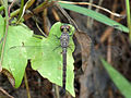 Brachydiplax chalybea of Kadavoor.jpg