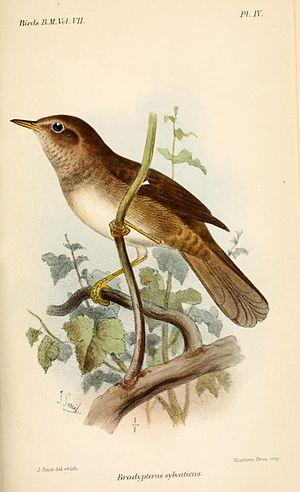 Knysna warbler - Illustration by Joseph Smit, 1883