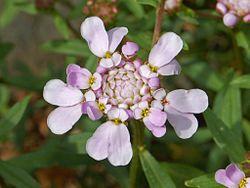 Brassicaceae - Iberis umbellata.JPG